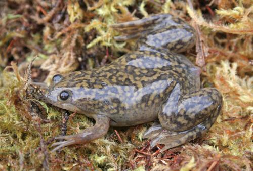 Xenopus: el género de las ranas carnívoras