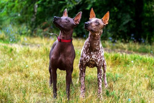 Xoloitzcuintle: pareja