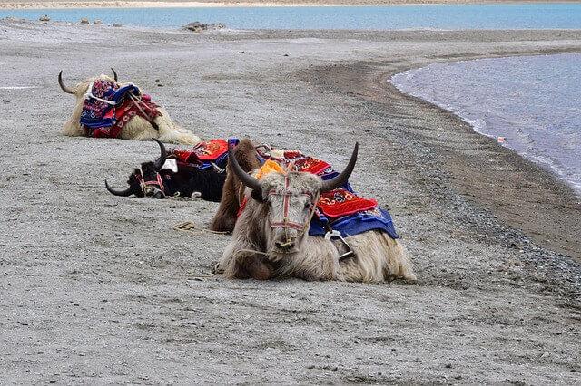 Bóvidos exóticos: el yak