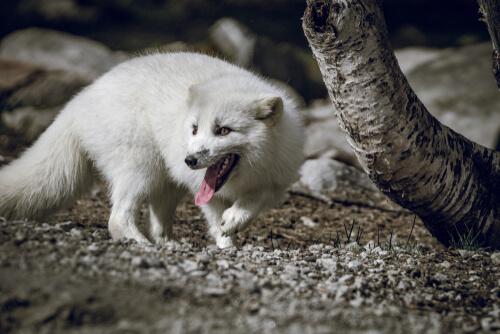 ¿Por qué un zorro ártico ha recorrido 3500 kilómetros?