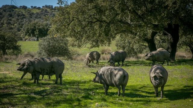El cerdo ibérico es uno de los sectores ganaderos en crisis
