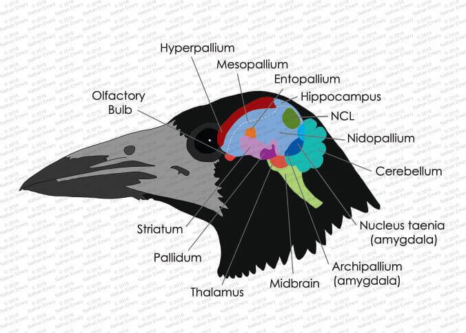 Cerebro de un cuervo