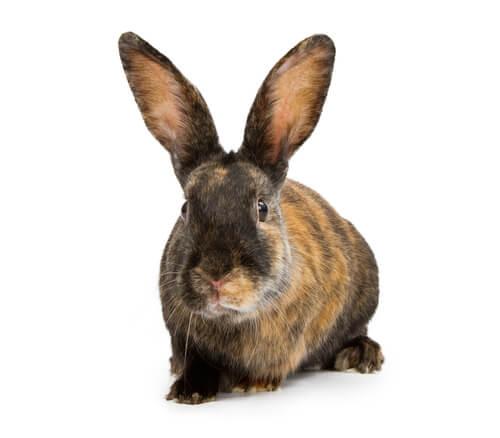 Conejo arlequín japonés