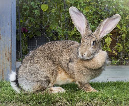 Conejo gigante flamenco en el jardín