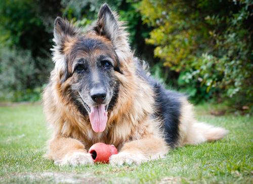 Investigaciones nos cuentan cómo envejecen los perros