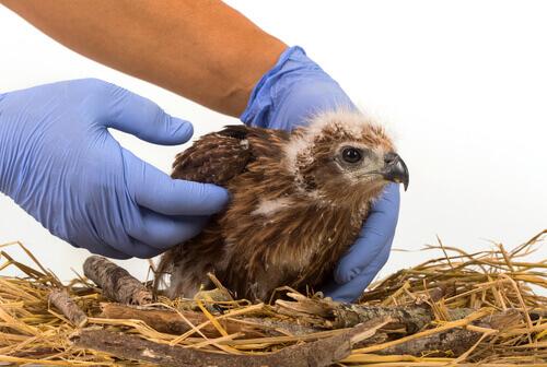 Los vendajes más útiles en la clínica de aves