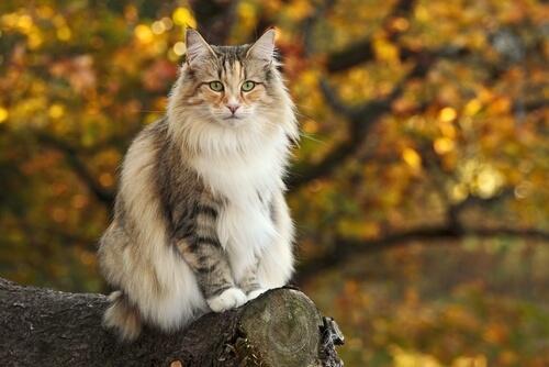 Gato del bosque Noruego en un tronco
