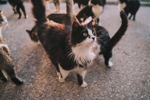 La sarna se contagia a los gatos