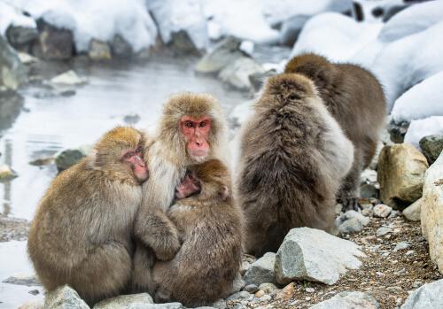 Grupo de macacos japoneses