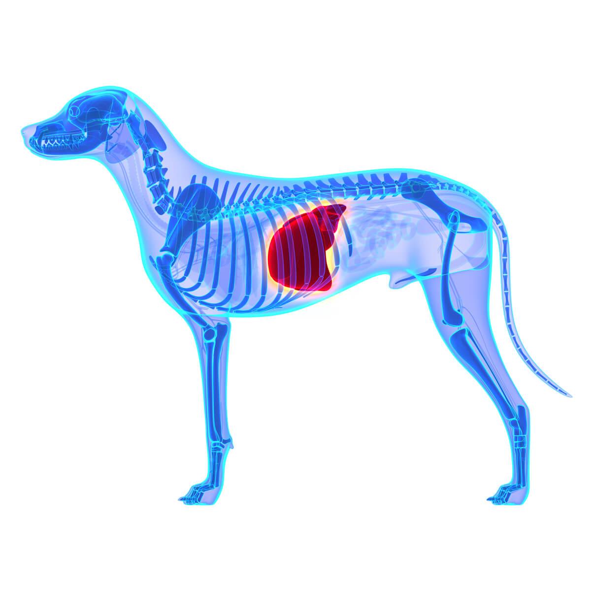 Problemas hepáticos en perros.