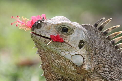Iguana comiendo flores