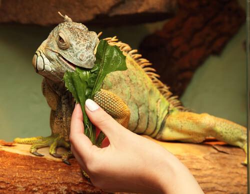 Iguana comiendo hojas