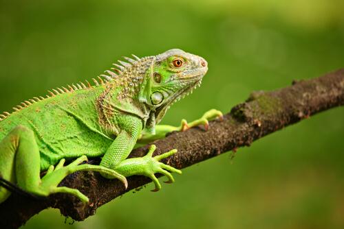 ¿Qué comen las iguanas verdes?