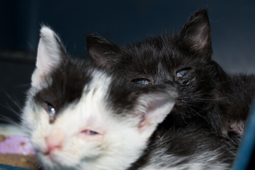 Inflamación de los párpados en gatos