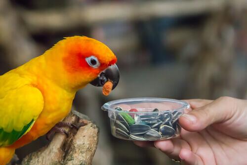 Loro comiendo pipas