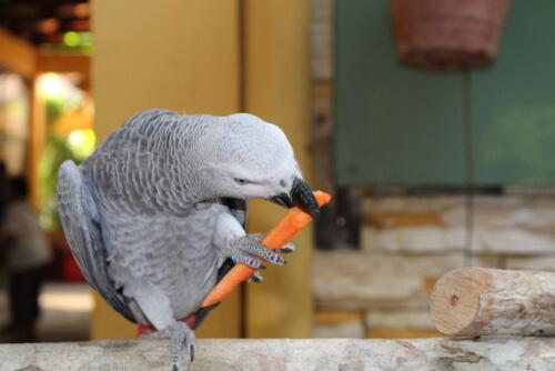 Loro comiendo zanahoria