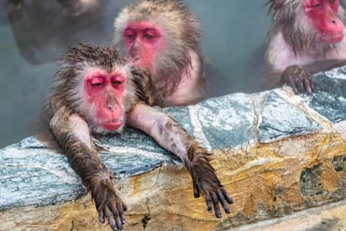 Monos de cara roja