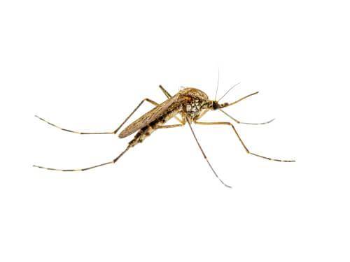 Leishmaniose transmissible par les moustiques