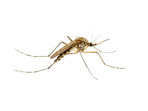 Mosquito transmisor de la leishmaniosis