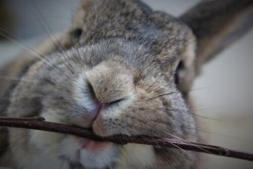 Conejo mordiendo un palo.