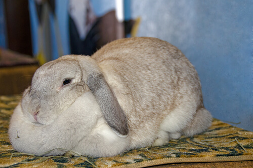 Obesidad en el conejo: síntomas y causas