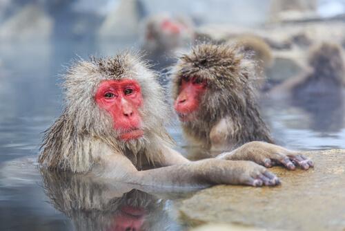 ¿Por qué los macacos japoneses tienen la cara roja?