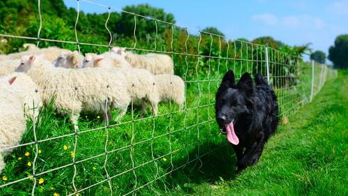 Pastor alemán negro con ovejas