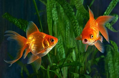 La hidropesía es común en peces dorados.