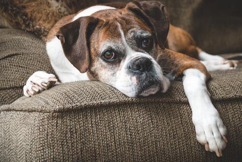 Pérdida del tejido muscular en perros