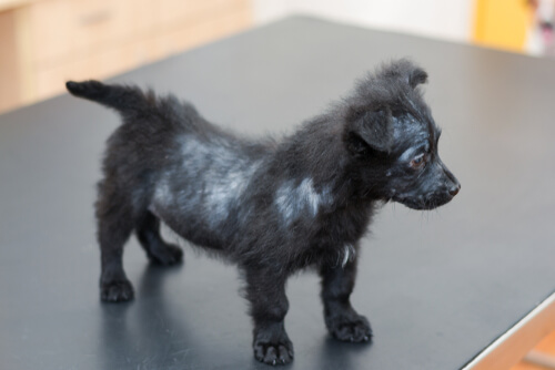 Perro con alopecia por sarna