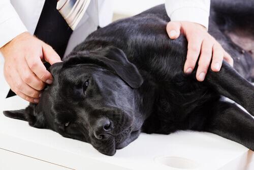Perro con cáncer en el veterinario