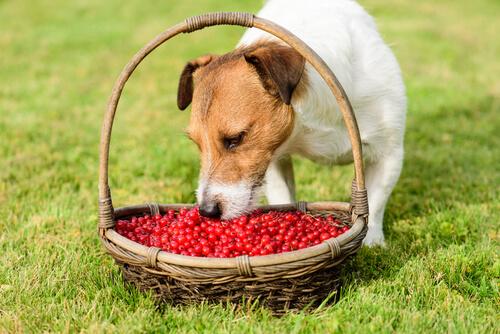 Un perro comiendo arándanos de una cesta.