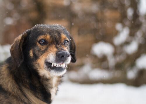 Perro enseñando los dientes