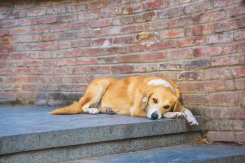 Perro esterilizado tumbado en unas escaleras