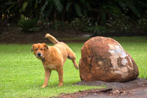 ¿Por qué se produce la obstrucción del tracto urinario en perros?
