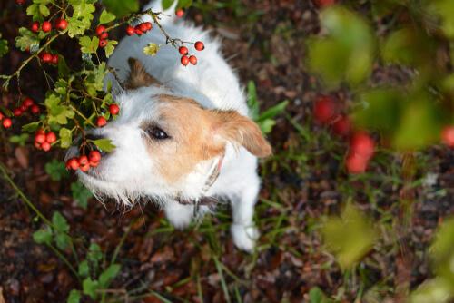 Un perro oliendo unos arándanos silvestres.
