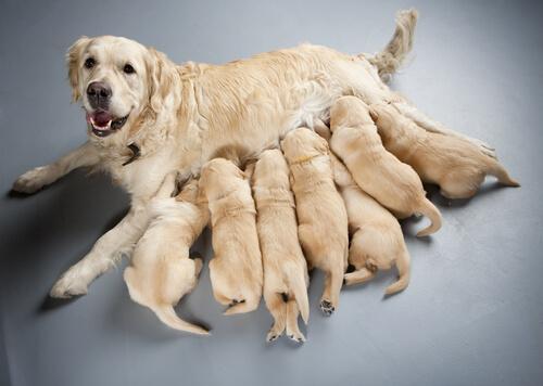 Perro no esterilizado amamantando a sus crías