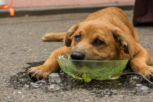 Perro refrescándose con hielo