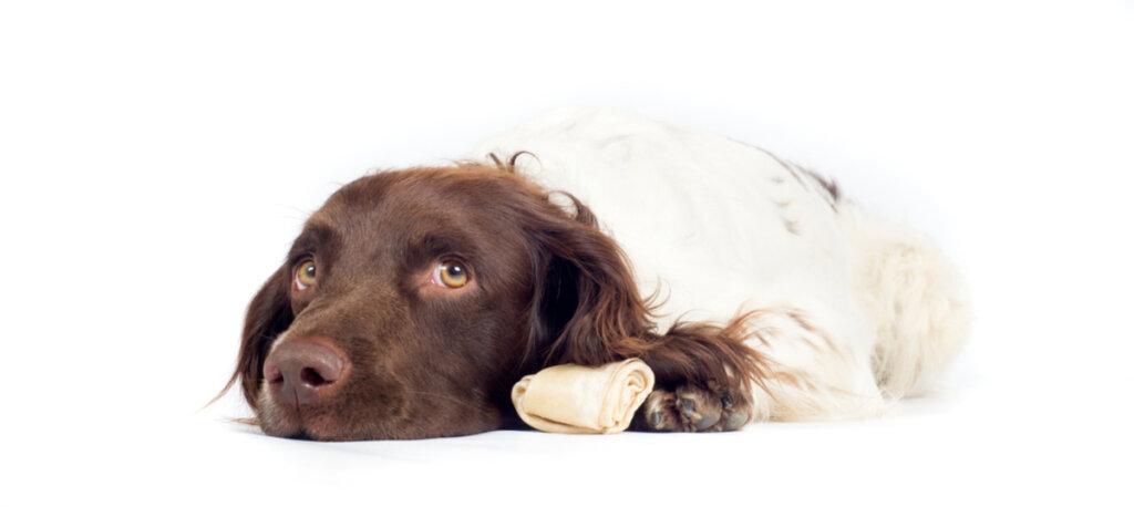 Enfermedad hepática en los perros: causas y síntomas