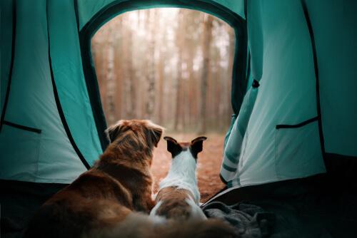 Chiens dans une tente