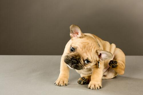 Consejos para aliviar la picazón en la piel de los perros