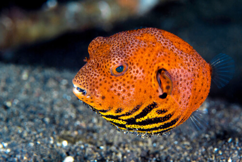 Orange Pufferfish