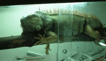 Uso de ramas en un acuario para iguanas