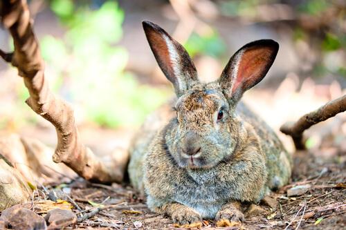 Sobrepeso en el conejo