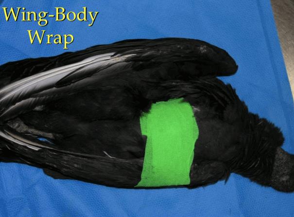 Vendaje del ala al cuerpo en clínica de aves