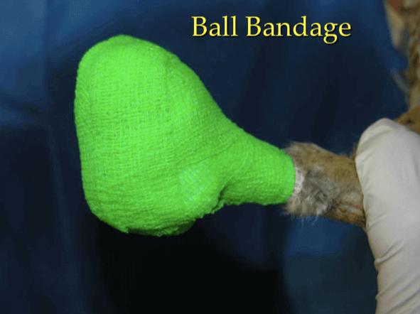 Vendaje de pelota en clínica de aves