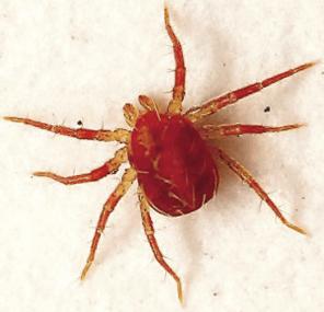 El ácaro rojo es uno de los ectoparásitos