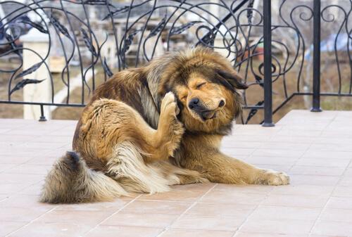 Los alérgenos más comunes en perros, ¿qué hacer?