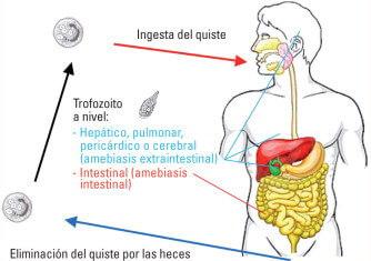 Las amebas son parásitos unicelulares