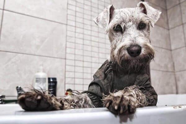 El baño con champú de hierbas se relacionó con el síndrome del schnauzer
